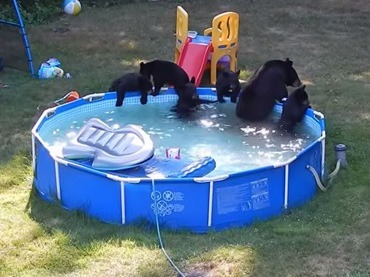 A-Family-Of-Bears-Were-Caught-On-Camera-Having-A-Pool-Party,-And-Forgot-To-Invite-The-Owners!