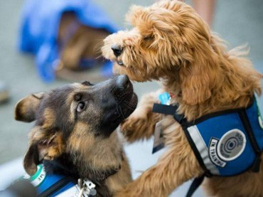 Alfie-and-Charlie-are-only-four-months-old,-but-they're-already-training-to-become-cancer-detection-specialists-at-the-University-of-California,-Davis.