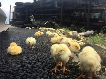 Chinese-villagers-scramble-to-loot-baby-chicks-after-van-containing-10,000-fowl-overturns